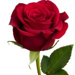 Red Rose with Clipping Path