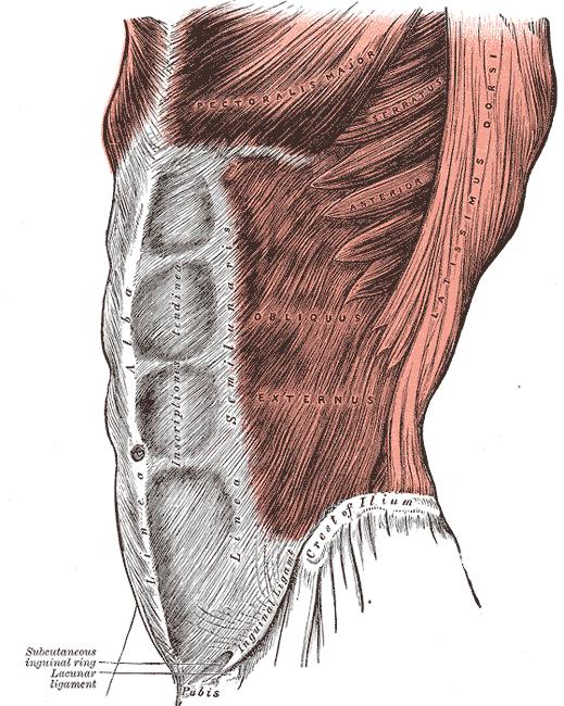 عضله مایل خارجی شکم