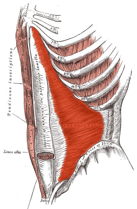 عضله عرضی شکمی
